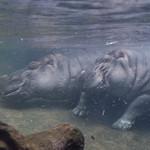 Two Hippopotamus submerged underwater